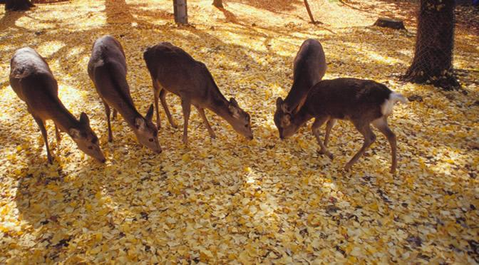 奈良県・奈良公園の鹿
